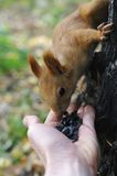 Squirrel eats seeds  from hand Stock Photos