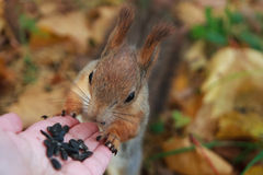 Squirrel eats seeds from the human hand. Stock Photo