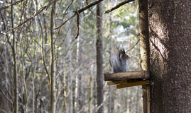 Squirrel eats in special feeder in forest Royalty Free Stock Photo