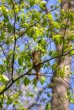 Squirrel eats spring buds Stock Photos