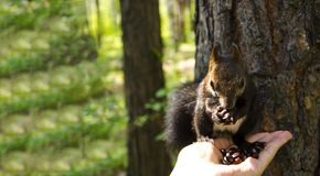 Squirrel eats. Squirrel takes the nuts from his hands stock photography