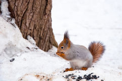 the squirrel eats sunflower seeds in the winter Stock Image