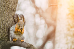 Squirrel eats on a tree branch in a spring forest Royalty Free Stock Photos