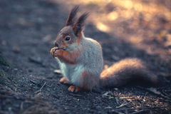 Squirrel eats. On the wood Stock Images