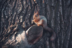 Squirrel eats. On the wood Stock Photo