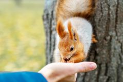 Squirrel eats from the wood in the forest. A man is feeding a sq Stock Photo