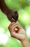 Human and nature,Squirrel eatting. A man is feed a squirrel Royalty Free Stock Photos