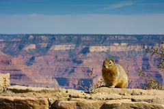 Squirrel on the Edge. Squirrel at the edge of Grand Canyon, Arizona. NOTE: RAW file available for download stock photo