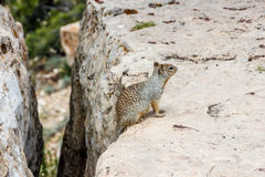 Squirrel on the edge Royalty Free Stock Image