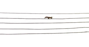 Squirrel on electric cables. Isolated squirrel walking on electric cables like music score Stock Image