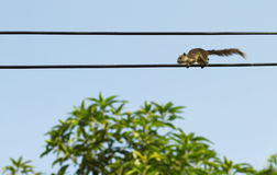 Squirrel on electric cables Royalty Free Stock Photo