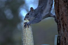 Squirrel enjoying his dinner on a tree. royalty free stock photography