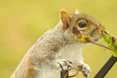 Squirrel Enjoyment Royalty Free Stock Image