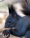 Squirrel enjoying eating a nut stock photography