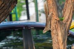 Squirrel a escalada para baixo de uma árvore a vir para baixo para o alimento Foto de Stock Royalty Free