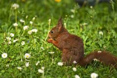 Squirrel eting a walnut Royalty Free Stock Image