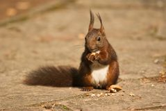 Squirrel eting a walnut Royalty Free Stock Photography