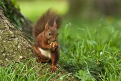 Squirrel eting a walnut Royalty Free Stock Photo
