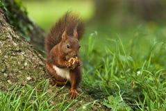 Squirrel eting a walnut Royalty Free Stock Photo