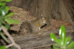 Brown squirrel 3. European brown squirrel in forest with nut Stock Images