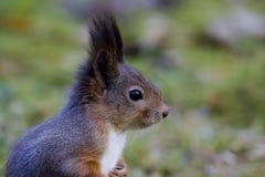 Squirrel. European red squirrels head close up Stock Images