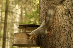 Squirrel examines bird feeder. Red squirrel surveys a simple wooden bird feeder in the forest royalty free stock photo