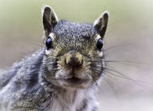 Squirrel Face Royalty Free Stock Photography