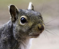 Squirrel Face Stock Images