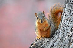 Squirrel in Fall. This photo was taken at Miller Park, Bloomington IL royalty free stock photo
