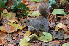 Squirrel on fallen leaves. Squirrel (Sciurus carolinensis) standing on fallen leaves Royalty Free Stock Image