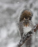 Squirrel in Falling Snow Royalty Free Stock Photos
