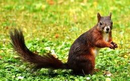 Squirrel, Fauna, Mammal, Fox Squirrel Royalty Free Stock Photos