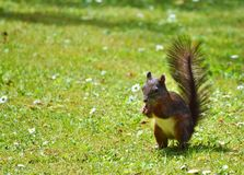 Squirrel, Fauna, Mammal, Fox Squirrel Royalty Free Stock Photo