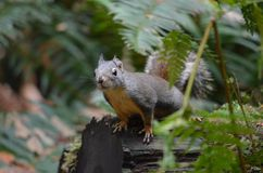 Squirrel, Fauna, Mammal, Fox Squirrel Stock Photos