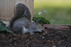 Squirrel, Fauna, Mammal, Fox Squirrel Stock Image