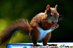 Squirrel, Fauna, Mammal, Rodent Royalty Free Stock Photos