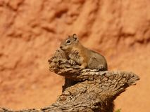 Squirrel, Fauna, Mammal, Rodent Stock Images