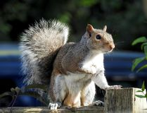 Squirrel, Fauna, Mammal, Wildlife royalty free stock images