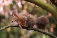 Squirrel, Fauna, Mammal, Wildlife royalty free stock photography