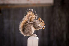 A squirrel feasting on a peanut. A squirrel sitting on a deck post feeding on a peanut Royalty Free Stock Photo