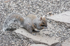 Squirrel feasting on seeds Stock Photography