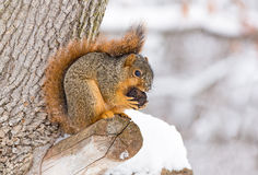 Squirrel Feasts in the Snow. A fox squirrel works at opening a nut while perched on a tree branch and surrounded by winter snow Stock Images