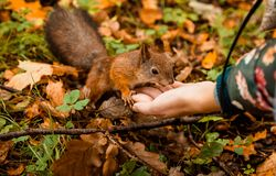 A squirrel fed from the hand in a park. In autumn royalty free stock photos