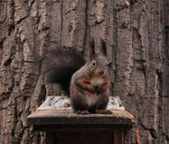 Squirrel and feeder Royalty Free Stock Photos