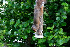 Squirrel on feeder Royalty Free Stock Images