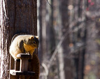Squirrel on a feeder. A chubby squirre on a feeder attached to a tree royalty free stock image