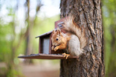 Squirrel on the feeder eating sunflower seeds Royalty Free Stock Photos
