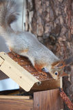 Squirrel on the feeder Royalty Free Stock Photos