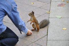 Squirrel feeding Royalty Free Stock Image