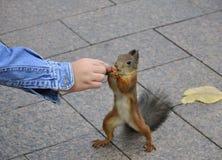 Squirrel feeding Royalty Free Stock Photos